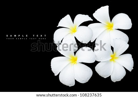 White Frangipani flower with water drops, Isolated on black background