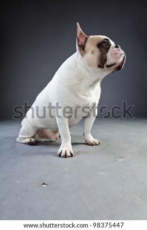 White french bulldog isolated on grey background. Studio portrait.