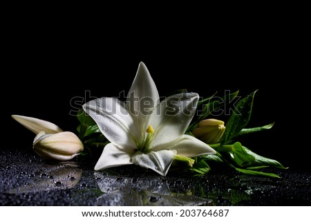 white freshness lily with buds lying  on reflection table with bright water drop on black background