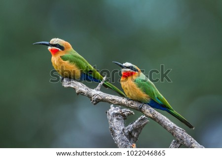 White-fronted bee-eater in Mapungubwe national park, South Africa ; Specie Merops bullockoides family of Meropidae