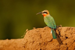 White-fronted bee-eater, Merops bullockoides, forest in Tanzania, Africa.  Detail head portrait of exotic orange and red African birds in nature habitat. Wildlife scene form nature.