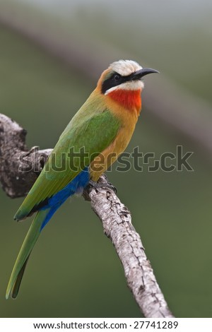 White-fronted Bee-eater; Merops bullockoides; South Africa