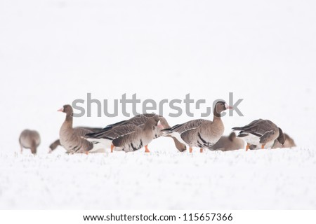White fronted Geese Flock grazing on snow field