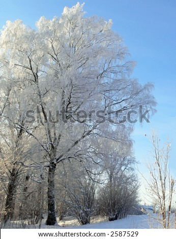 White frost. Birch covered with hoarfrost.