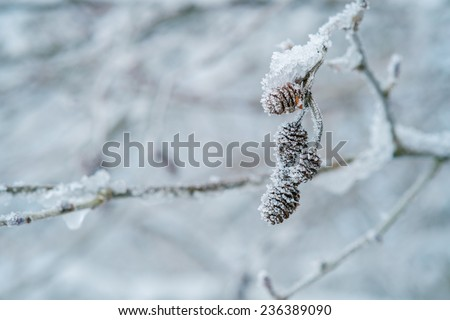 White frost covered branches with buds. Frost covered buds.