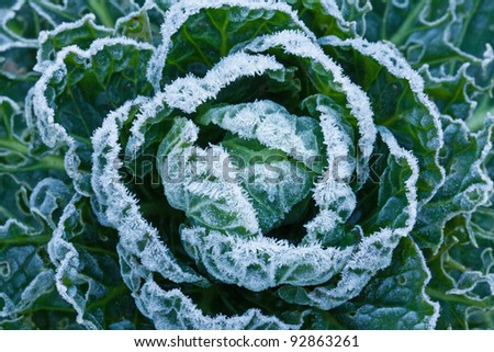 White frost crystals on Brussels Sprouts plant during winter