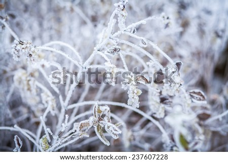White frost on the branches  on a frosty winter day