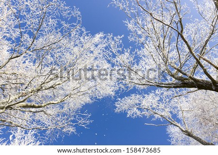 White frost on trees branches in the forrest