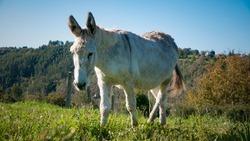 White furry donkey in a farm