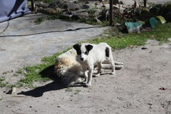 White furry hill station pet dogs in the northern region of India