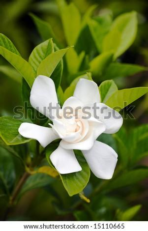 White Gardenia - stock photo