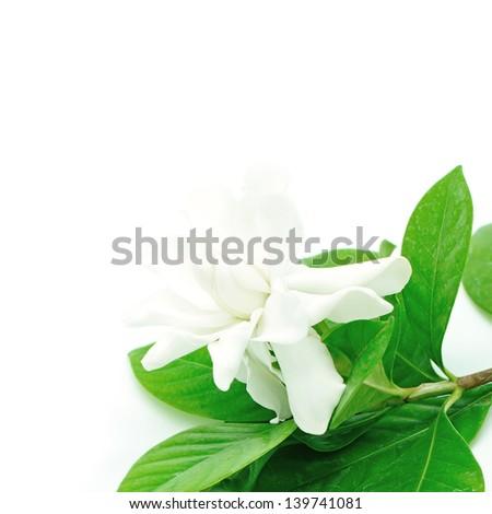 White Gardenia flower or Cape Jasmine (Gardenia jasminoides), isolated on a white background
