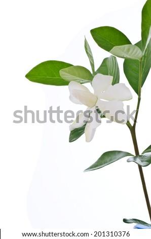 White Gardenia flower or Cape Jasmine (Gardenia jasminoides) on white background