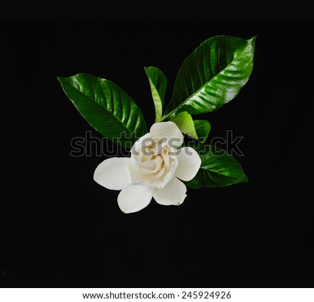 white gardenia flowers with green leaves on black background