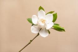 White gardenia with stem on beige background
