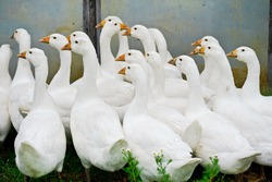 white geese