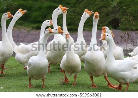 White geese, farmyard goose