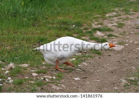 white geese in the village isolated