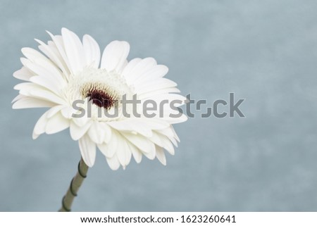 White gerbera flower close up with grey background with copy space. Natural flowery background. Banner for websate about botany or nature.