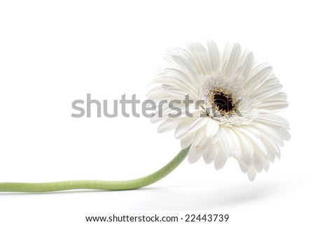 white gerbera flower isolated on white background