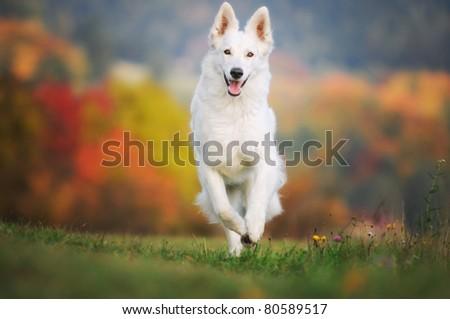 White German Sheepdog Weisser Schweizer Schäferhund Berger Blanc Suisse ストックフォト ©