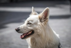 White german shepher dog portrait