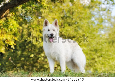 White German Shepherd Puppies With Blue Eyes White german shepherd - stock