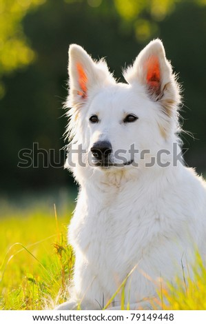 White German Shepherd dog in the evening in back light Berger Blanc Suisse White Swiss Shepherd