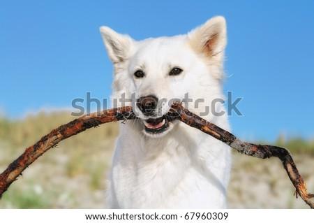 White german shepherd pays on the beach Weißer Schweizer Schäferhund  Berger Blanc Suisse