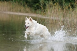 White German Shepherd  runs in the splashing water