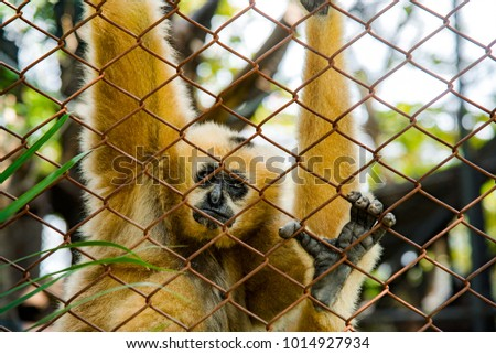 White gibbons on the fence with a sad look. #1014927934