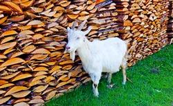 White goat at woodpile. Domestic white goat. White goat