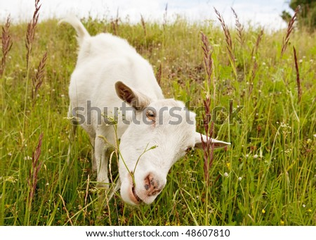 White goat eating a plant stalk on meadow.