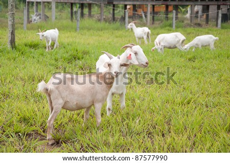 white goat farm