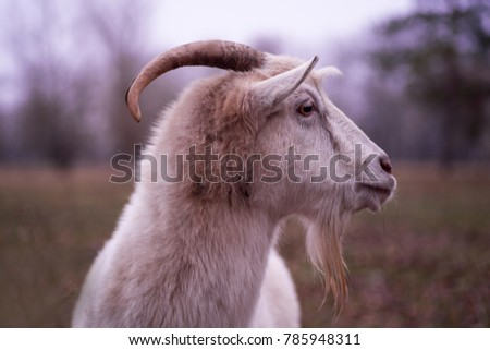 White goat, head of a goat #785948311
