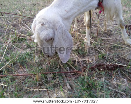 white Goat in Forest #1097919029