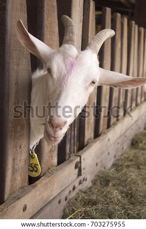 White goat in the farm, happy life, Goat is eating grass, Cute, Goat look at camera