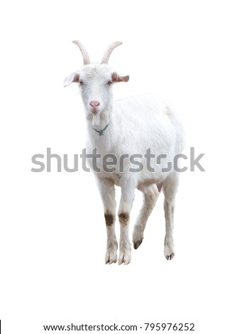 White goat . Isolated. #795976252