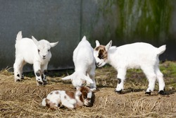 white goat kids standing and goat kid lying on straw