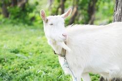 White goat outdoors, farm animal photo