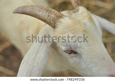 White goat portrait #748249336