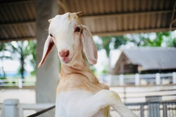 White goat portrait in farm