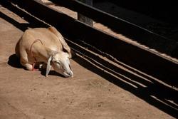 white goat sleeping in the sun