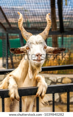 White goat with big horns portrait