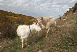 White goats close up. Male goat and female goat. Landscape with sky and goats grazing in the mountains.