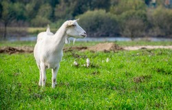 White goats in a meadow of a goat farm. White goats