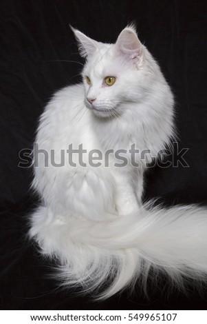 Turkish Angora White Cat On Brown Background Ez Canvas