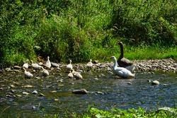 White goose and dark gander with a brood of hybrid goslings in a meadow by the river. Goose pasture (grass plucked), geese farming.