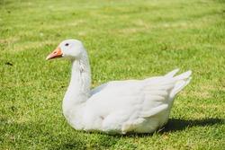 White goose bird on green field