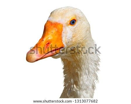 White goose head Anser domestic isolated on white background. White domestic young goose neck with feathers isolated. Goose animal head for trend fashion cloth design hipster surreal style. Cute beak